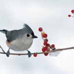 Tufted titmouse on a bittersweet twig.