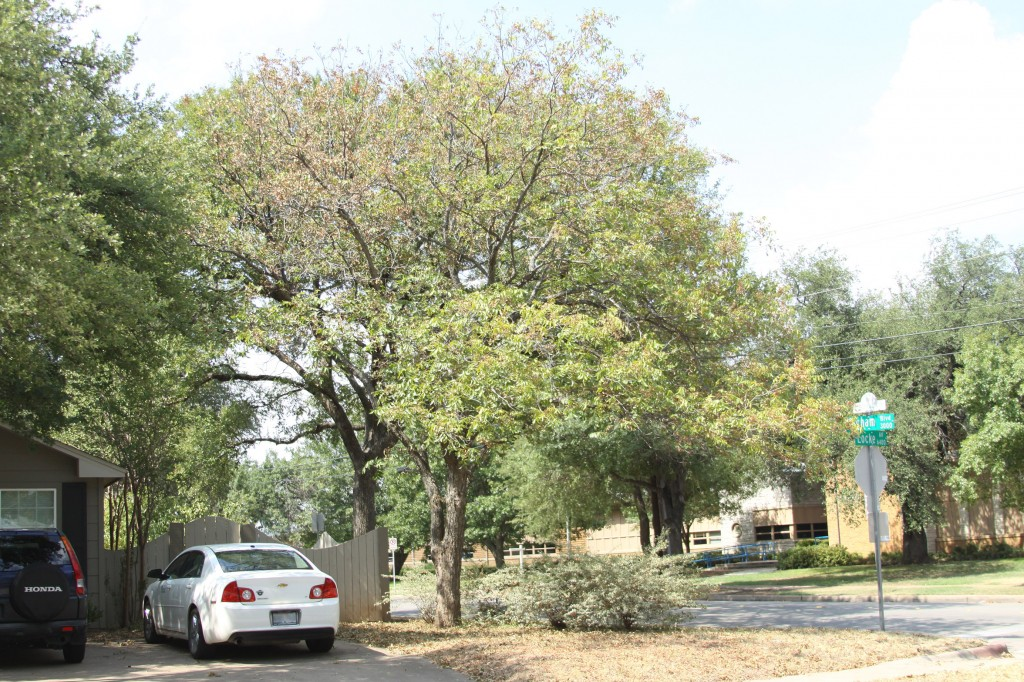 Drought-Stressed Pecan