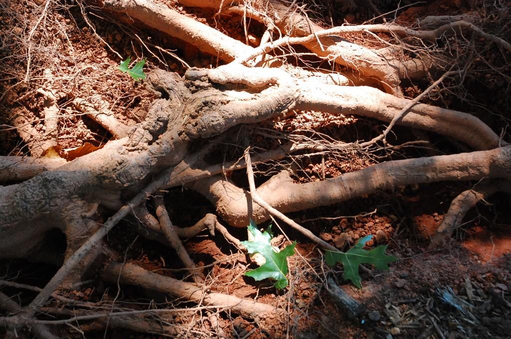 Excavated oak root
