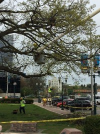 Pruning elm trees and a large oak in downtown Stamford.