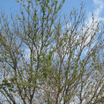 defoliation-and-tufted-growth-from-herbicides