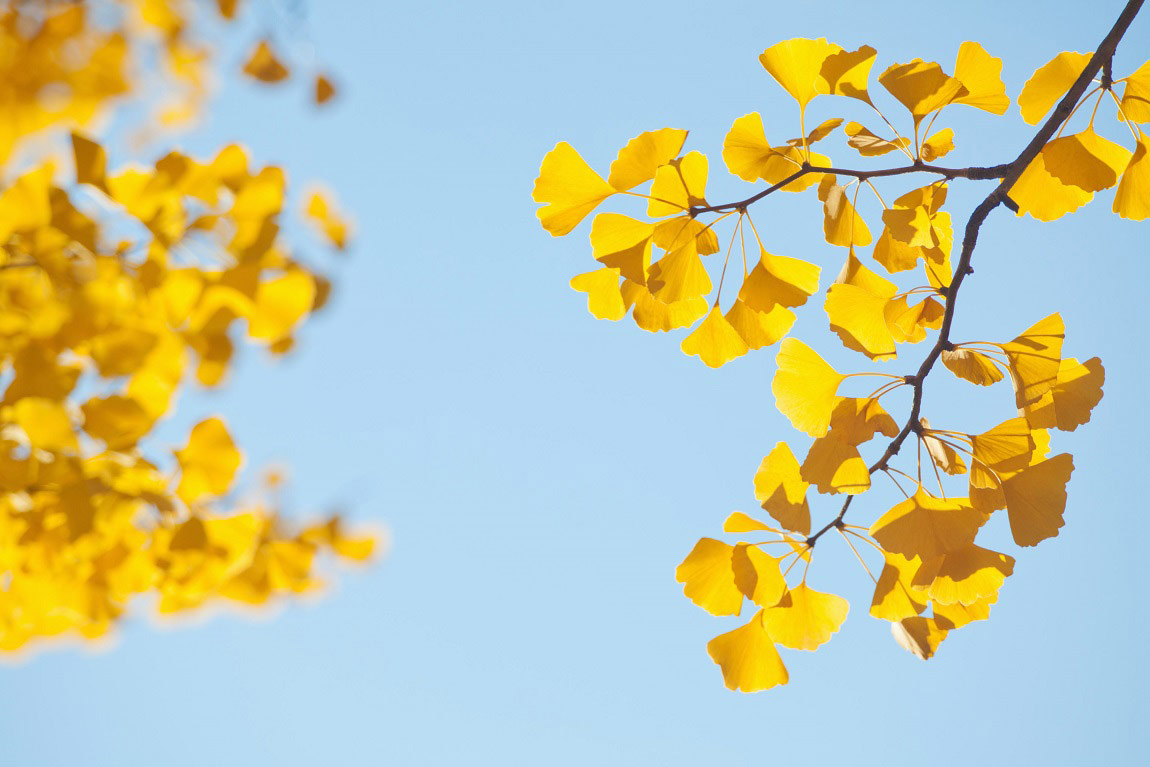 drought-resistant-ginko