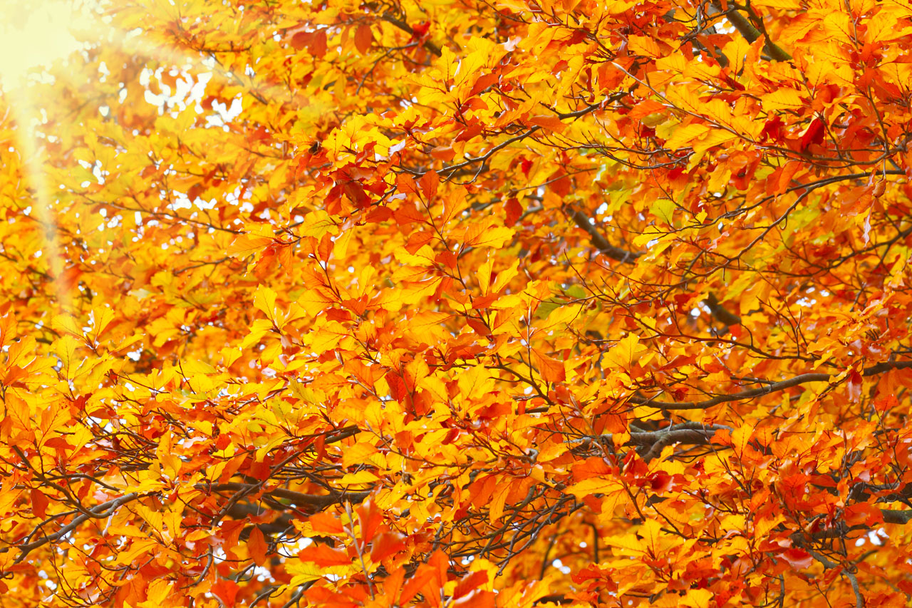 European beech in autum