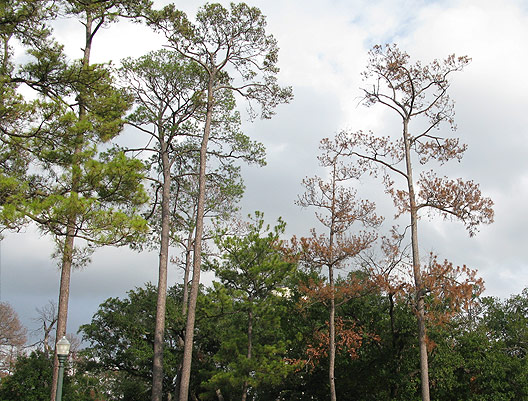 Trees showing signs of stress as a result of drought.