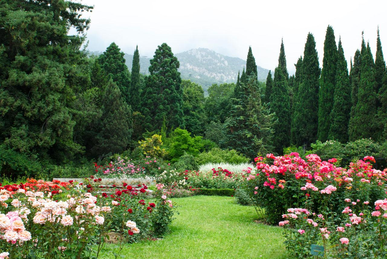 italian-cypress-medium