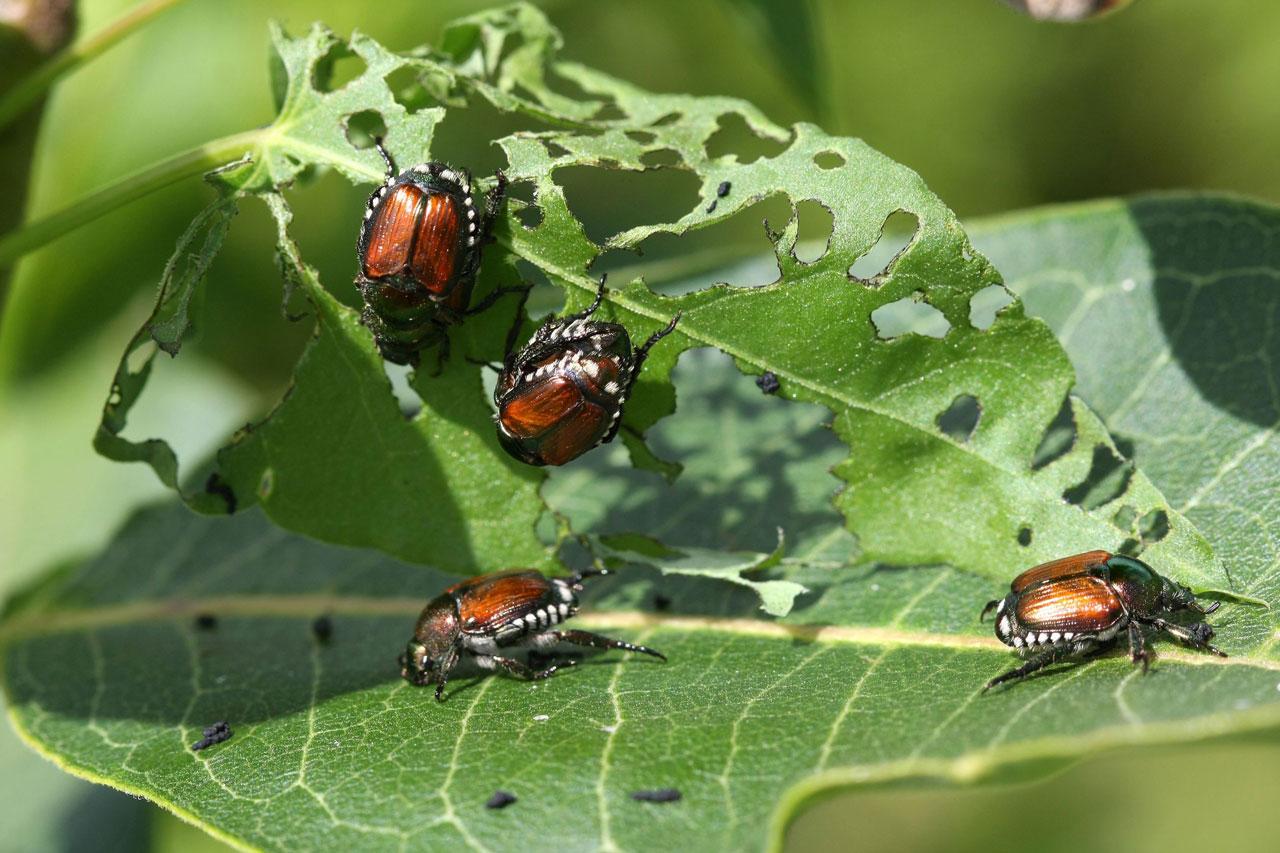 Japanese beetles devouring a leaf